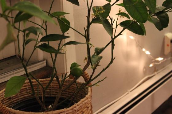 Lime bush