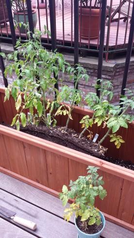 Cherry tomatoes, pre-fruit